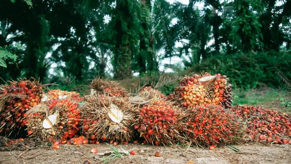 Edo Govt to provide 100,000 hectares of land for oil palm investors